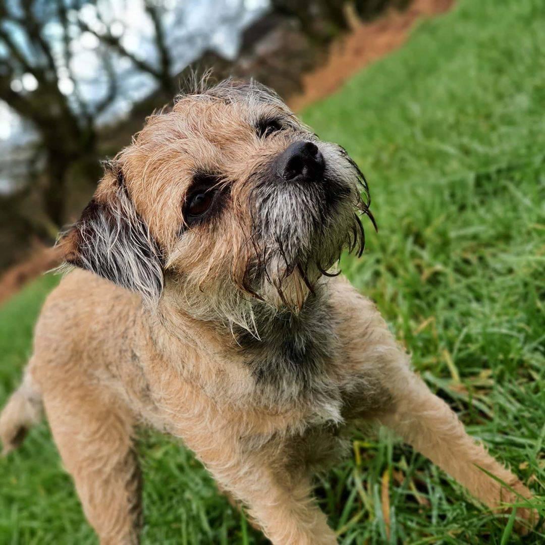 Бордер-терьер: описание породы собак с фото и видео