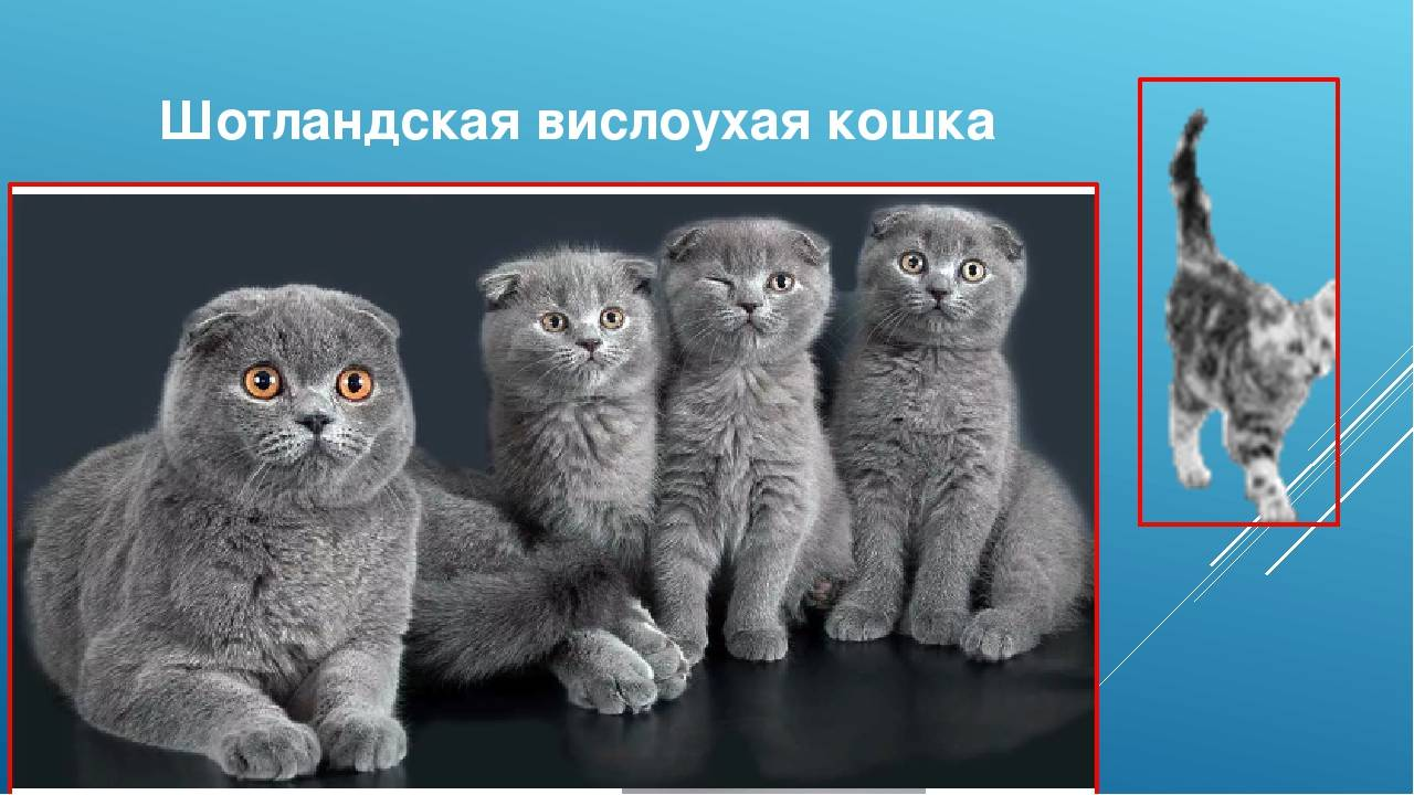 Шотландские вислоухие кошки: описание породы, характер, здоровье