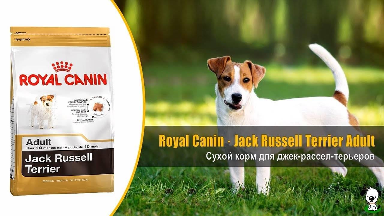 Чем кормить щенка джек рассела: в 1, 2, 3, 4 или 6 месяцев, натуральное меню или готовые корма, список запрещенных продуктов, витамины и добавки