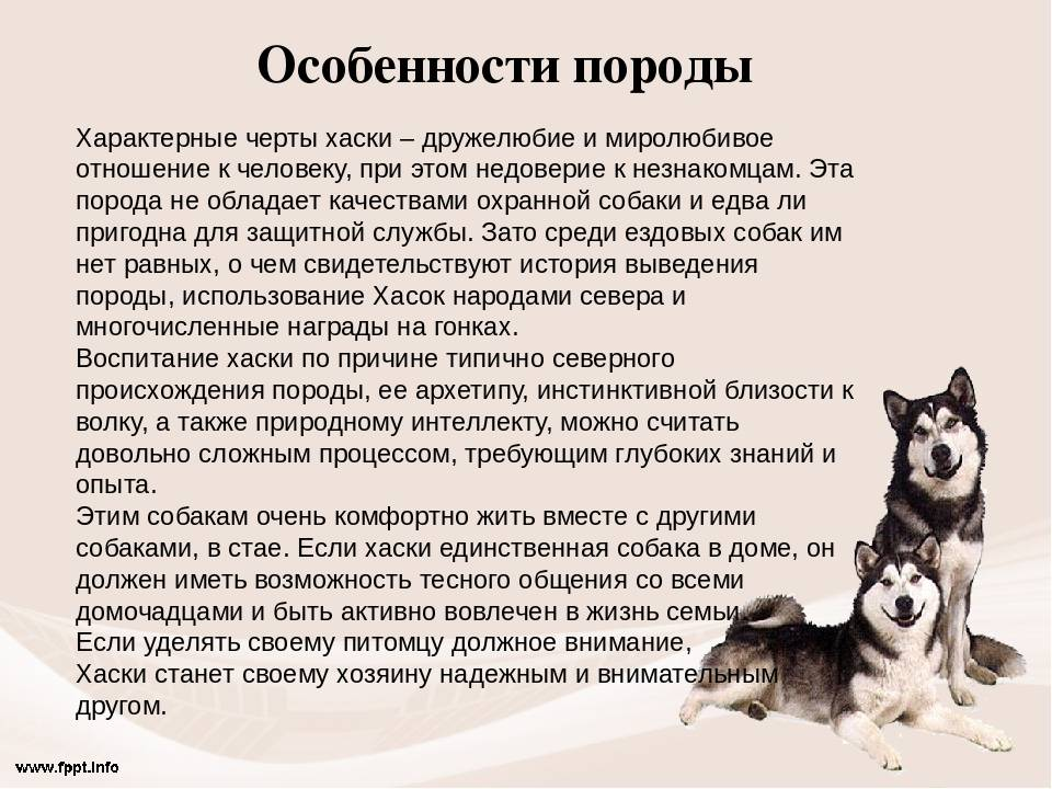Сибирский хаски: все о породе собак от а до я