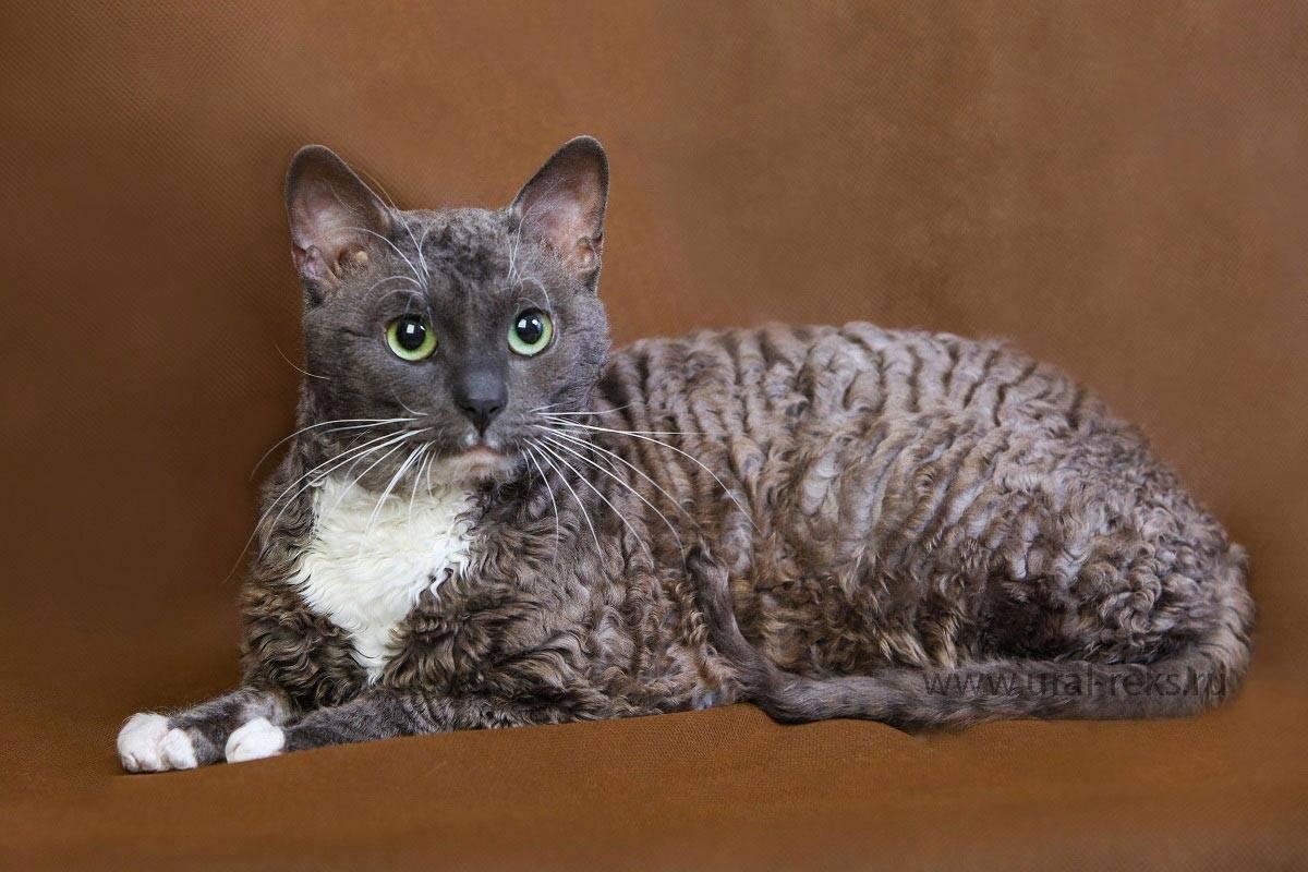 Всё о кошках породы уральский рекс