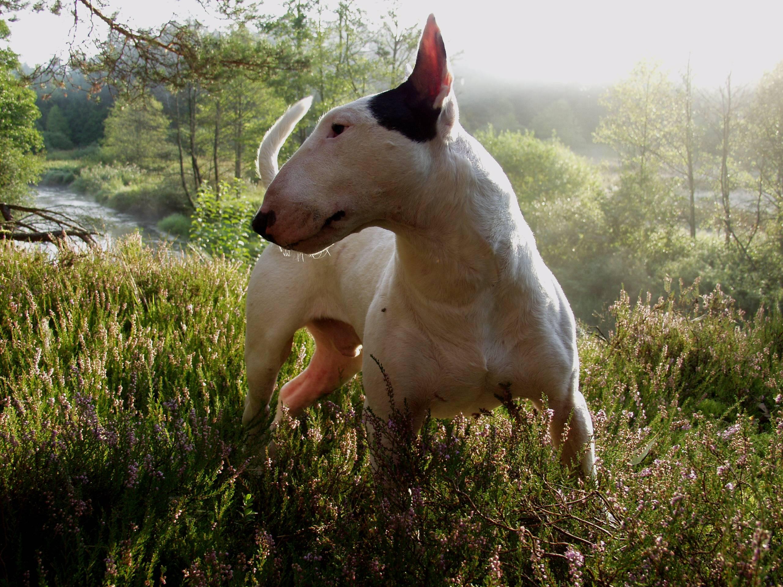 Стаффордширский бультерьер (staffordshire bull terrier): фото, купить, видео, цена, содержание дома