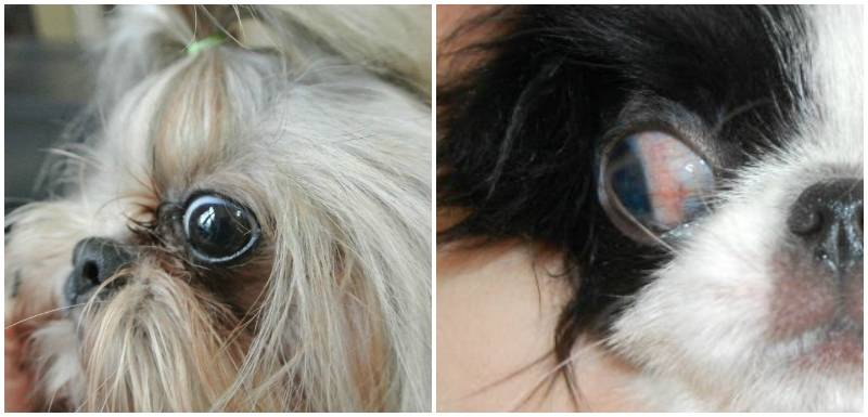 Проптоз глазного яблока: у каких собак вываливаются глаза