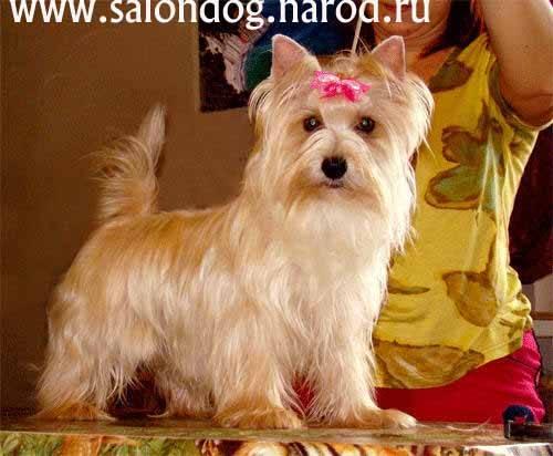 Знакомимся с маленькой русалочкой — русской салонной собакой |