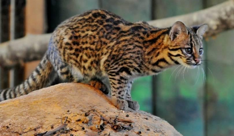 Жоффруа (кошка): фото и описание :: syl.ru