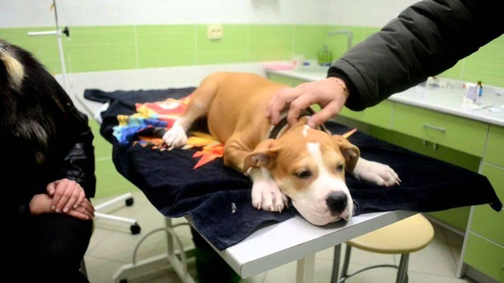 Процедура купирования ушей у собак, послеоперационный уход