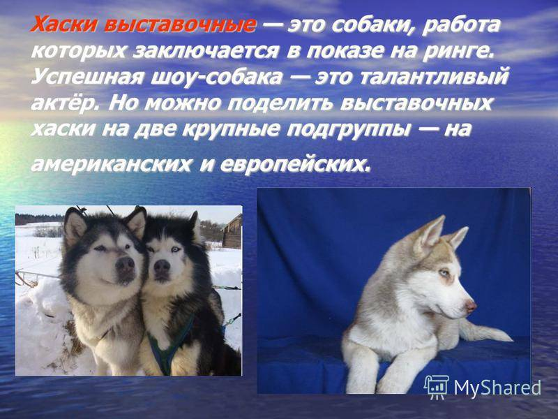 Сибирский хаски – энциклопедия о собаках