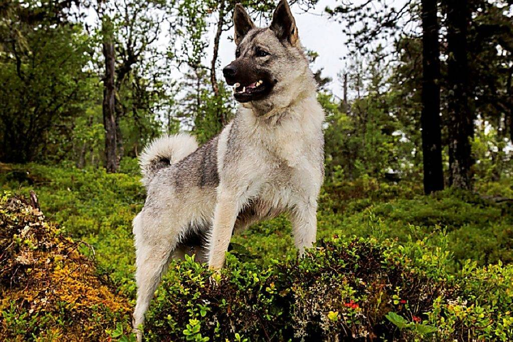 Норвежский лундехунд (лайка): описание породы, характер, уход, фото