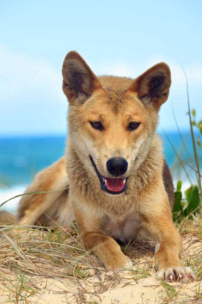 Описание породы и характер новогвинейской поющей собаки