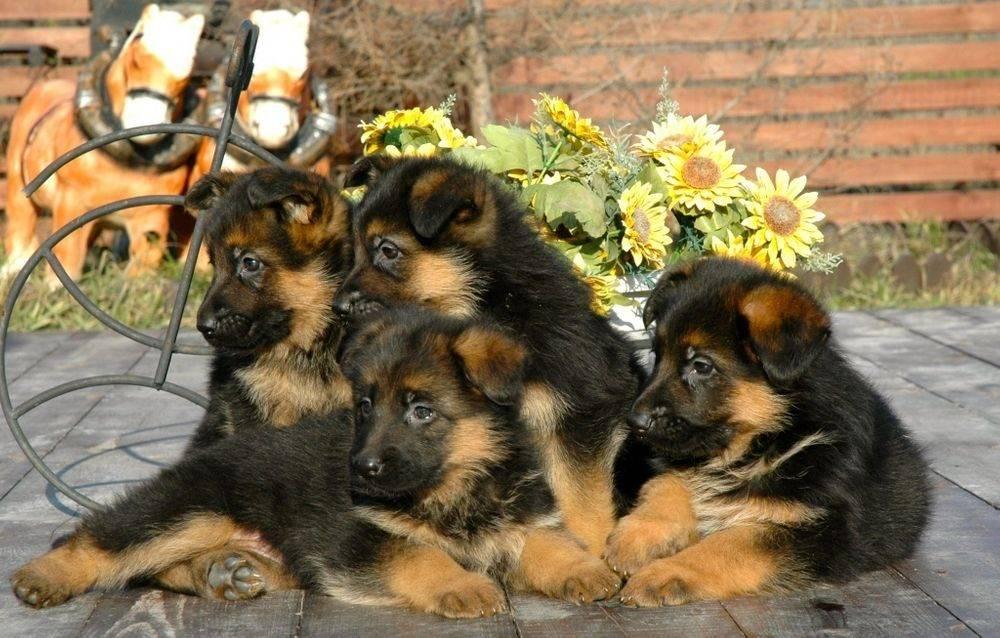 Как выбрать щенка немецкой овчарки, рекомендации и критерии выбора