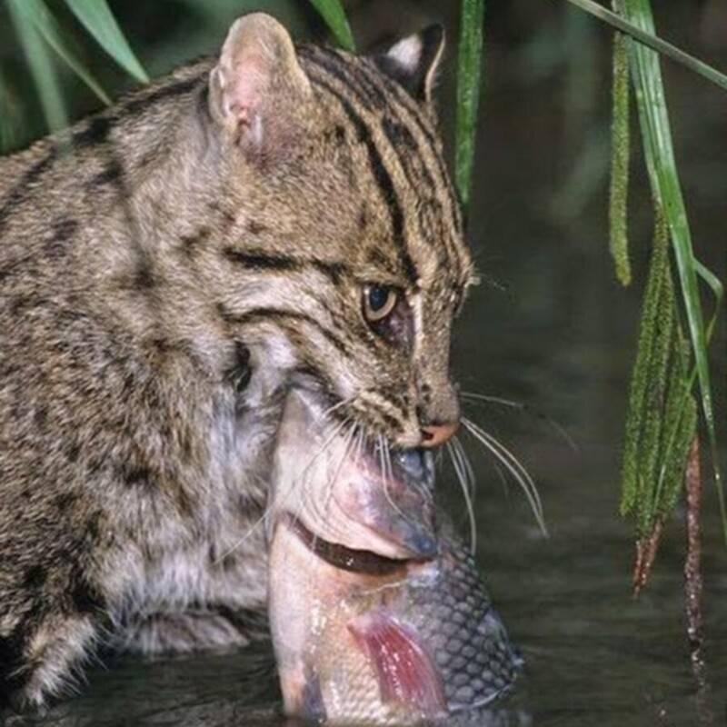 Кот-рыболов – хищный зверь в домашних условиях
