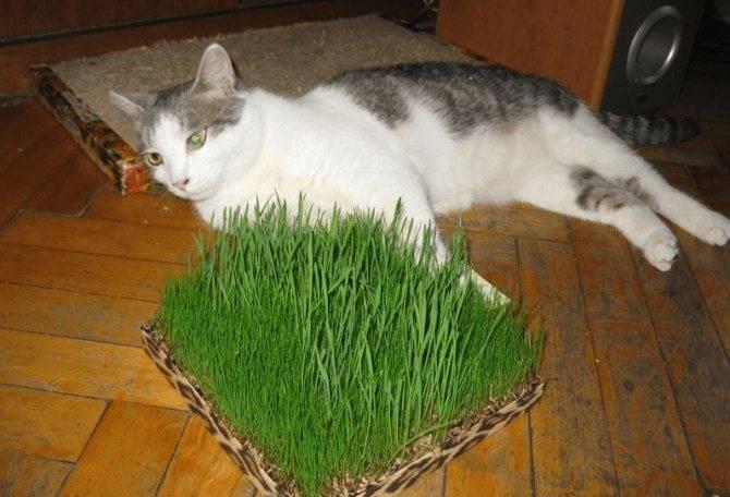Кошачья трава: зачем нужна и как вырастить в домашних условиях