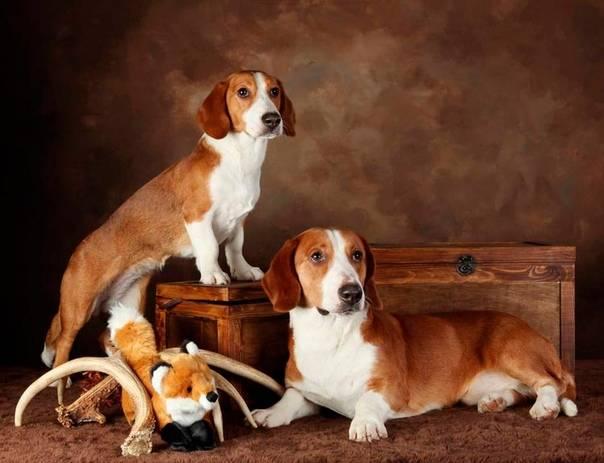 Охотничьи породы собак с названиями и фотографиями | petguru