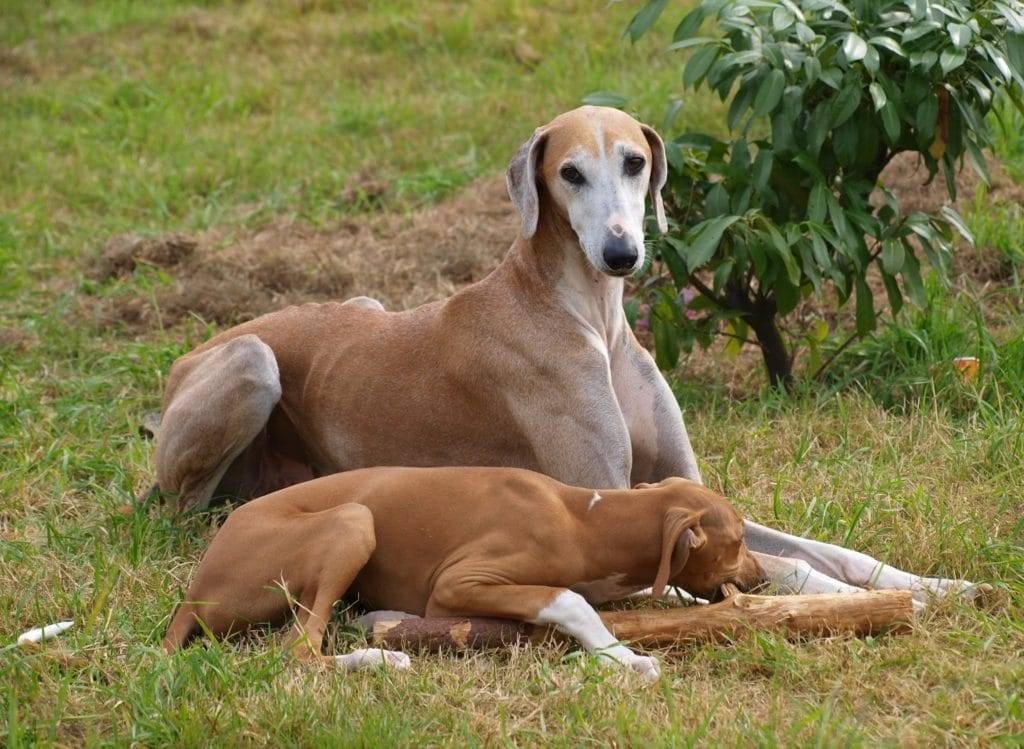 Азавак (африканская борзая): собака пустынных берберов. африканские борзые азавак описание породы собак