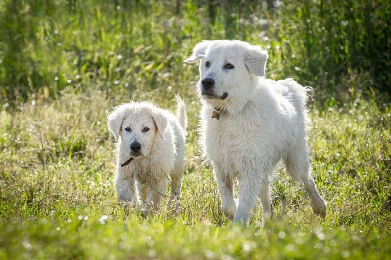 Подробное описание породы собак маремма абруццкая овчарка