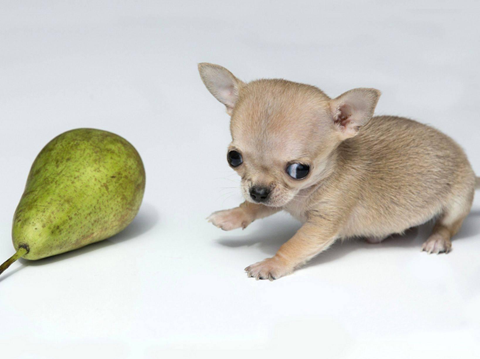 Самые маленькие породы собак в мире - фото с названиями