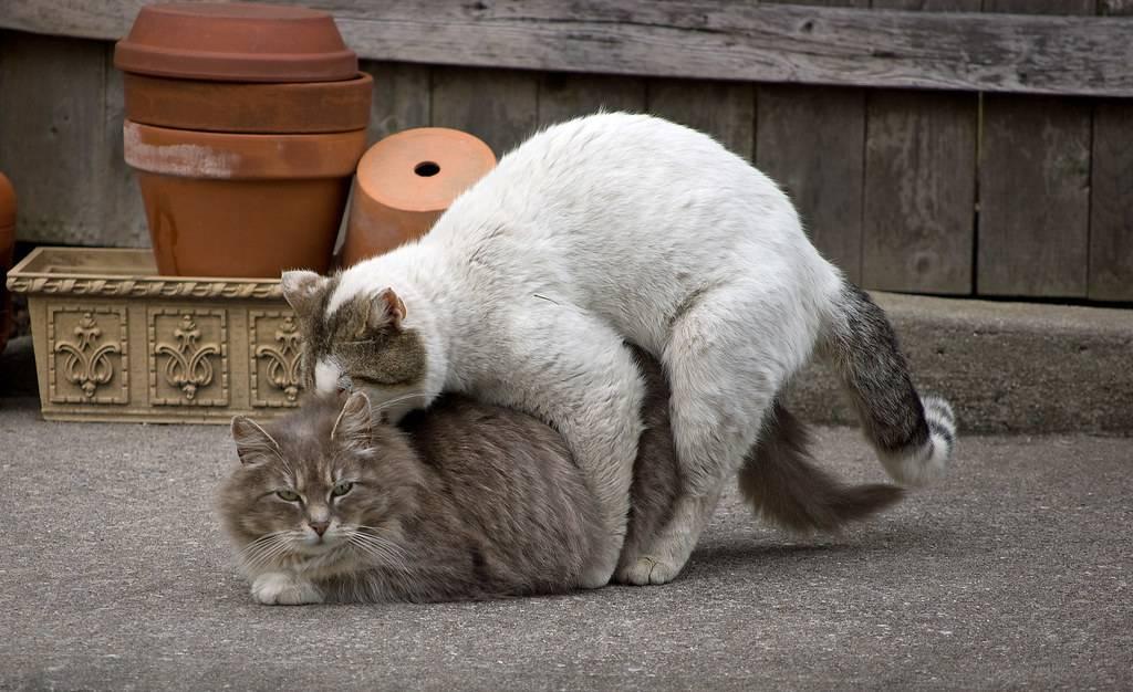 """Как подготовить кота к первой вязке    блог ветклиники """"беланта"""""""