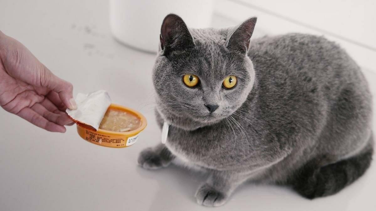Каким кормом лучше кормить британского котенка: сухим, влажным или домашней едой
