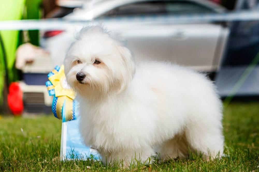 Декоративный внешний вид, но сильный характер: порода собак котон-де-тулеар