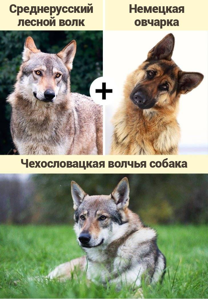 Все о волкособах