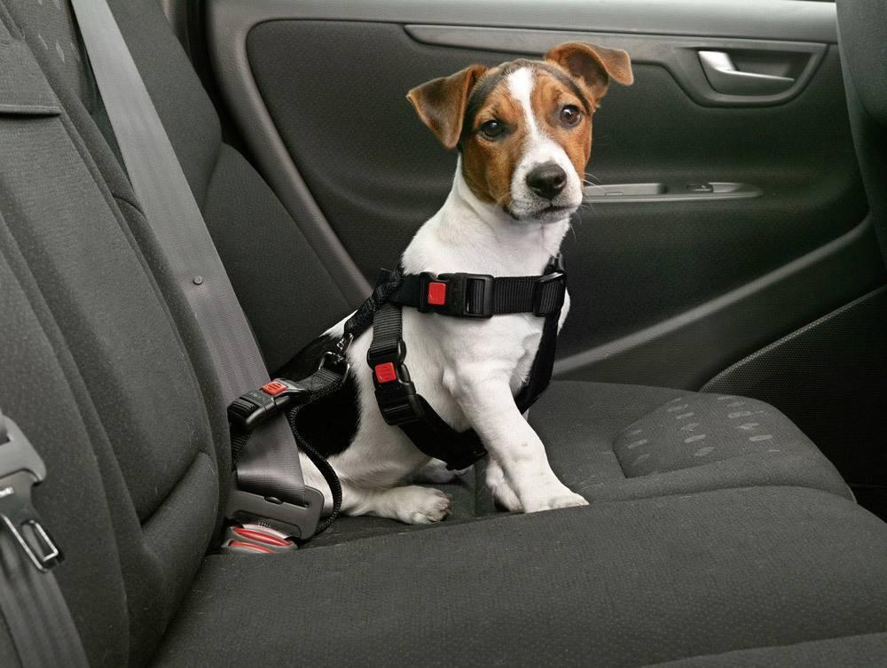 Как перевозить кошку в машине, как правильно перевозить собаку