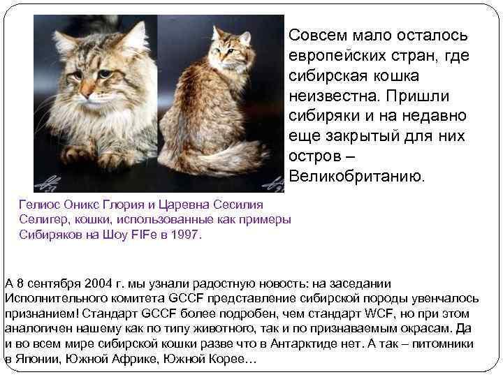 Сибирская кошка: описание, характер, уход и содержание, цена, фото