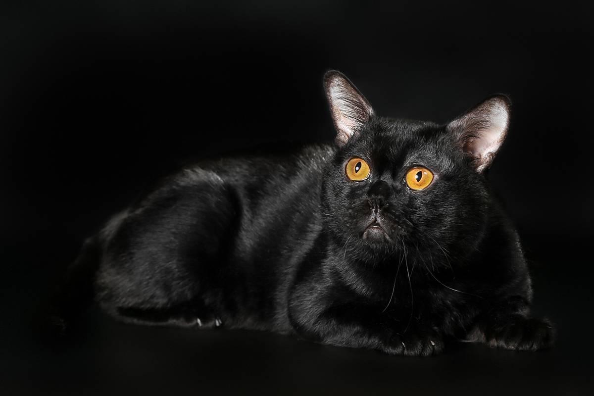 Бомбейская кошка - история прохождения и правила ухода в домашних условиях (125 фото)