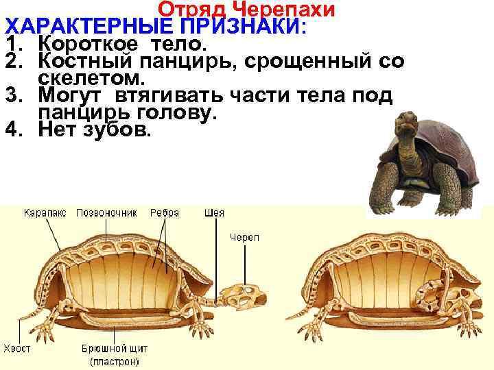 Что представляет собой панцирь черепахи?