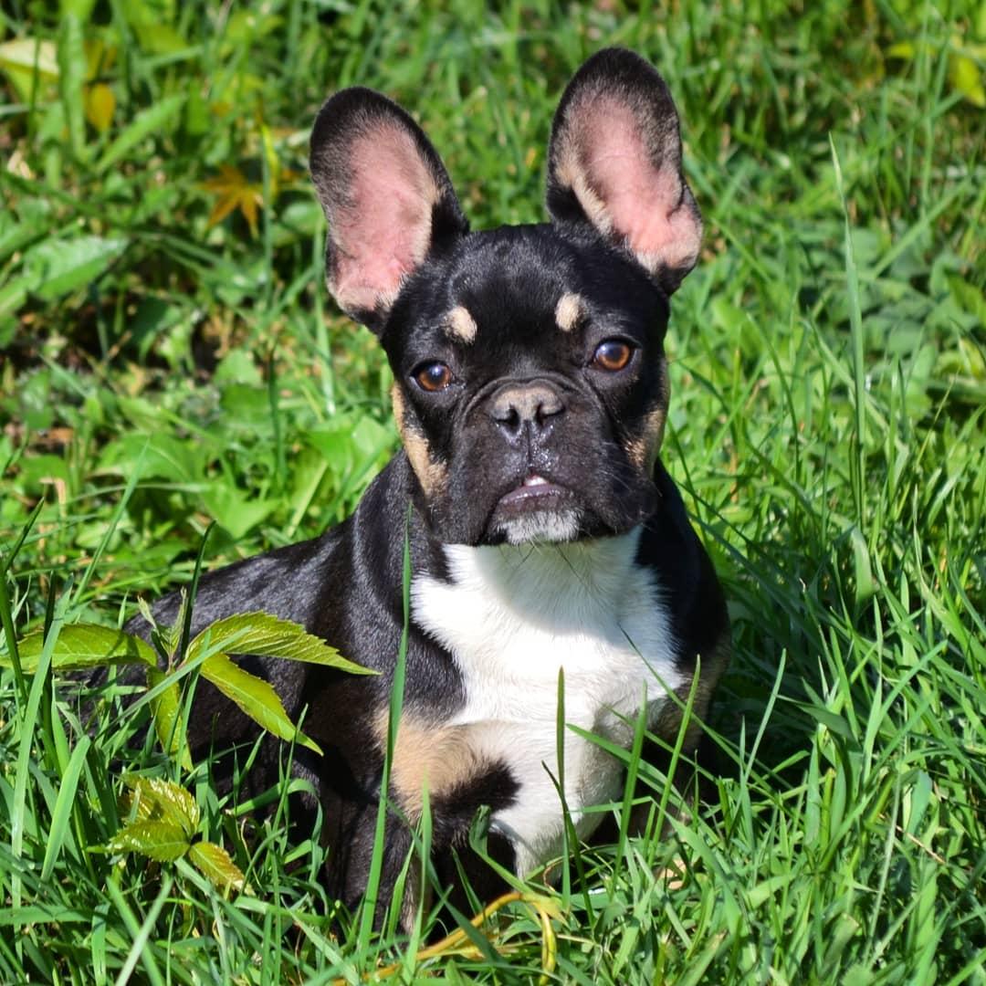 Голубой французский бульдог: окрас животного популярной породы собак и как выглядят щенки на фото
