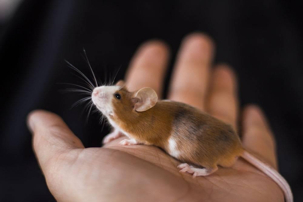 Что едят мышки в природе и в домашних условиях?
