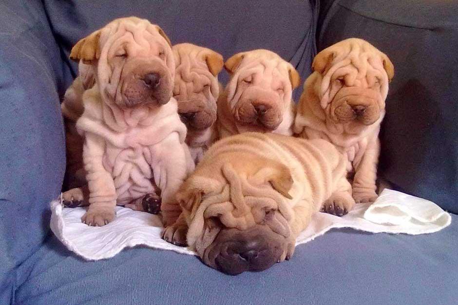 Китайский шарпей: подробное описание породы собак с фото