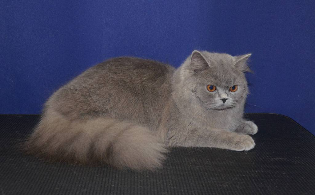 Британская кошка: разновидности, стандарт, характер и правила ухода