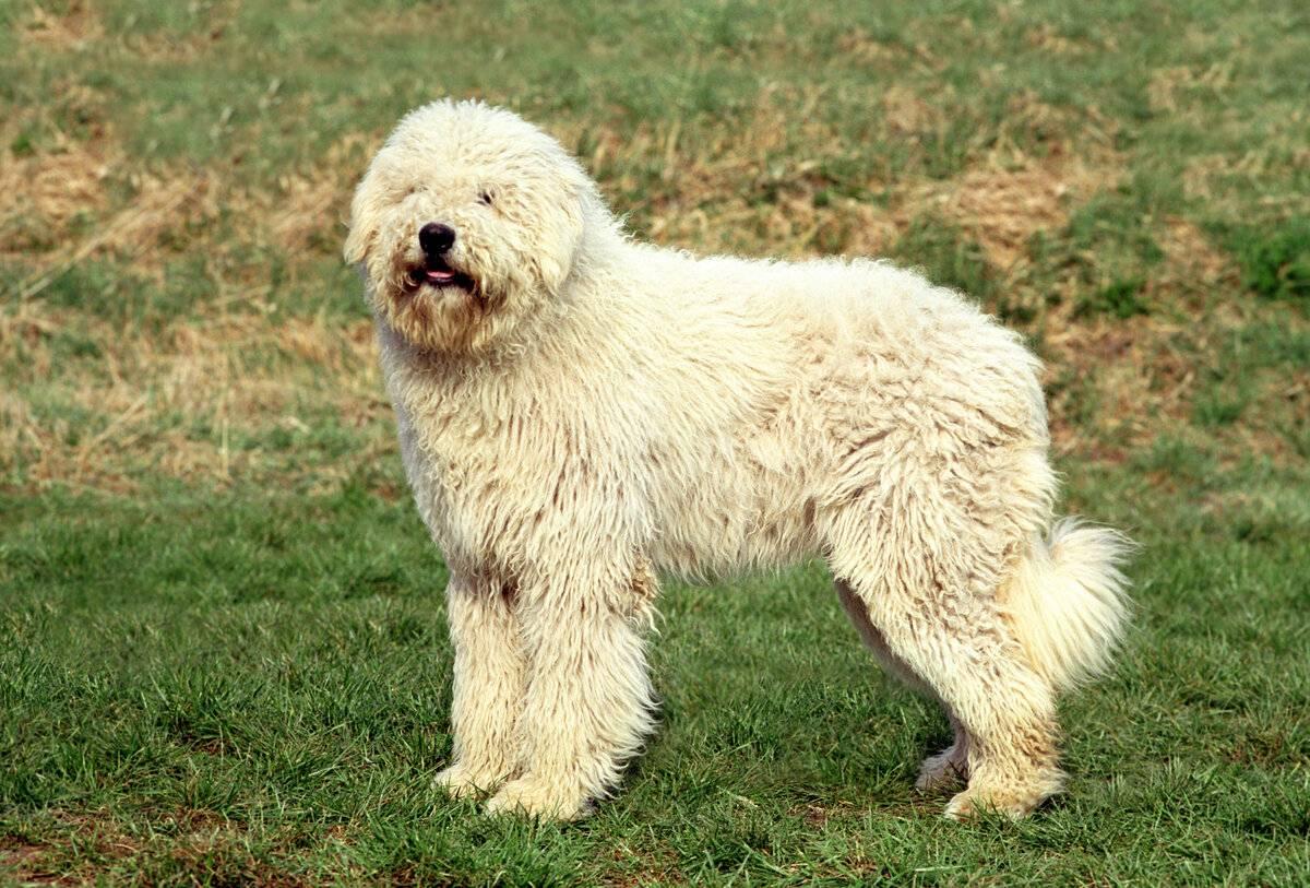Командор собака. описание, особенности, уход и цена породы командор | животный мир