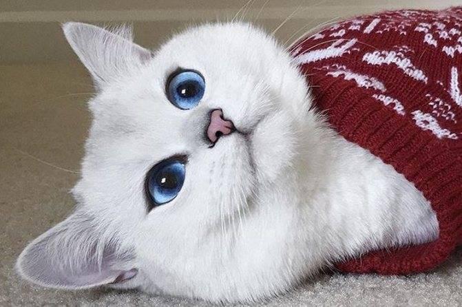 8 пород кошек с голубыми глазами [фото, названия] - муркотэ