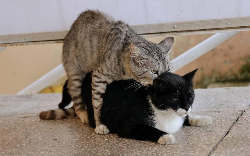 Вязка котов и кошек: как происходит?