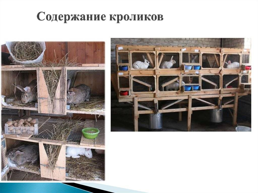 Выращивание кроликов на мясо в домашних условиях: советы по откорму и рациону