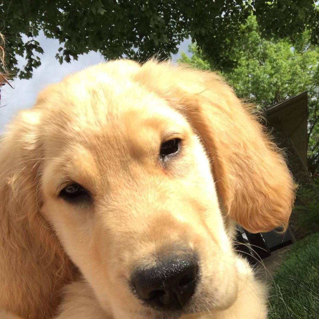 История породы, происхождение золотистого (голден) ретривера | собаки мира