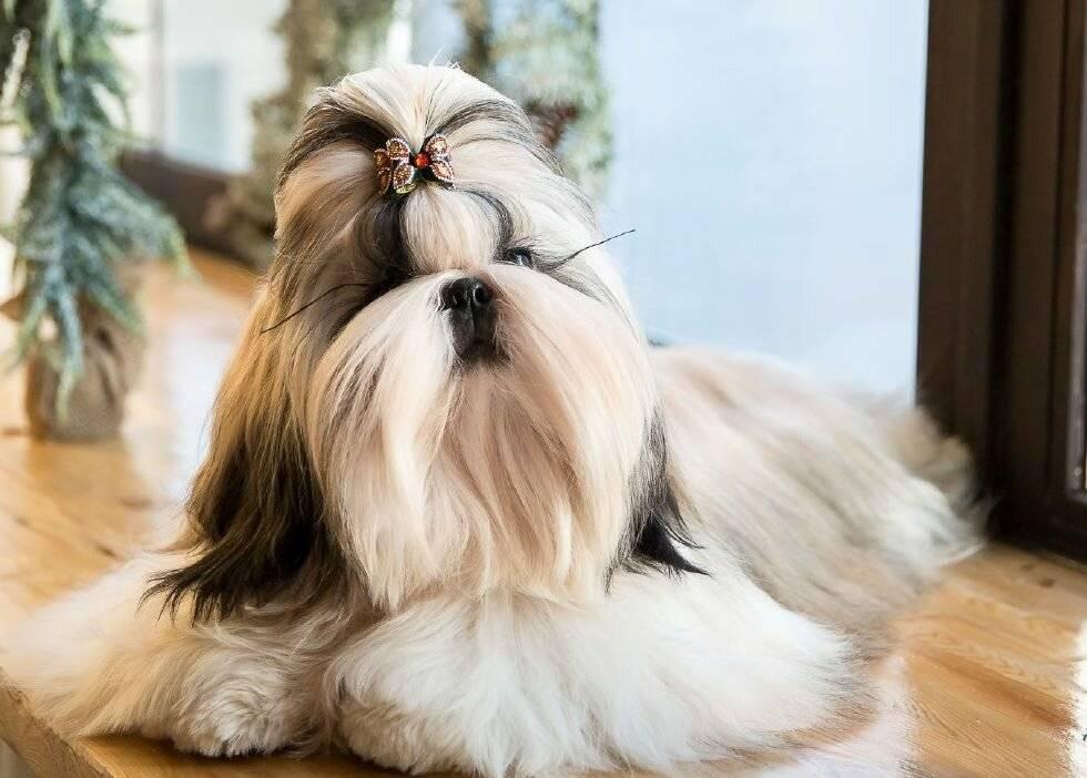 Ши-тцу: описание и характеристика породы, отзывы владельцев