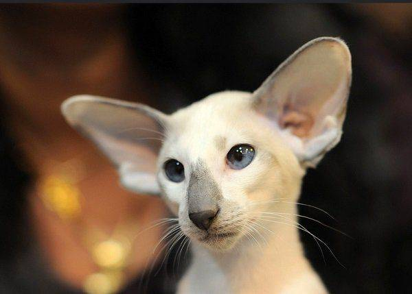 Сейшельская кошка: описание породы, характер, отзывы (с фото и видео)