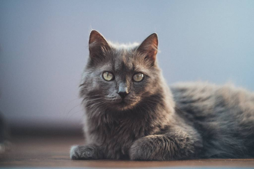 Нибелунг кошка. описание, особенности, уход и цена кошки нибелунг | животный мир