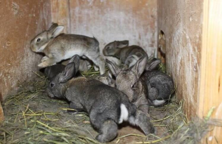 Серый великан: описание породы кроликов, разведение, выращивание, кормление в домашних условиях