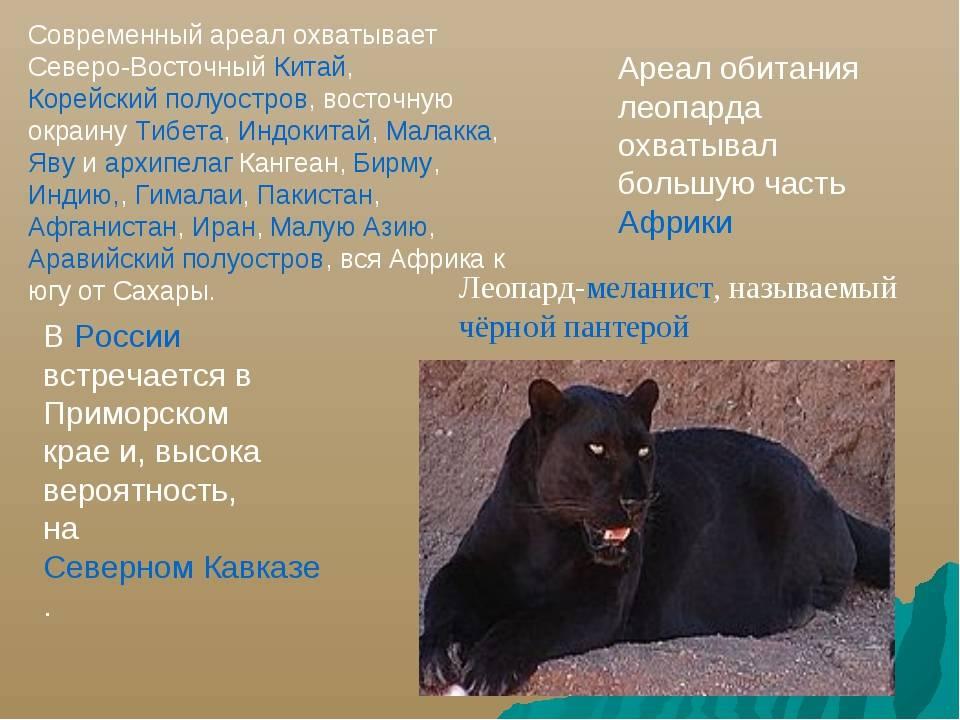 Суматранская кошка: описание внешности и характера, образ жизни и ареал обитания, размножение и численность вида