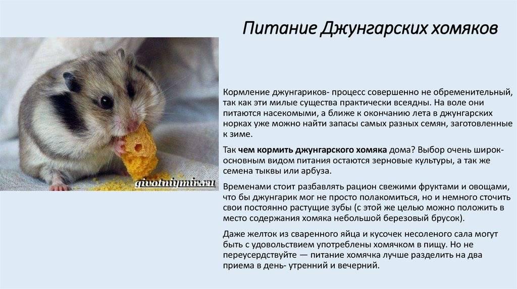 Джунгарский хомяк (джунгарик): уход и содержание в домашних условиях