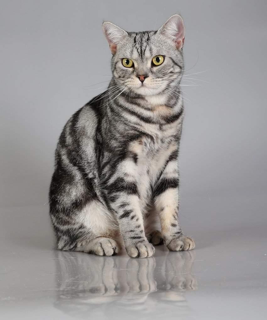 Короткошерстные кошки: породы с фото и описанием короткошерстные кошки: породы с фото и описанием