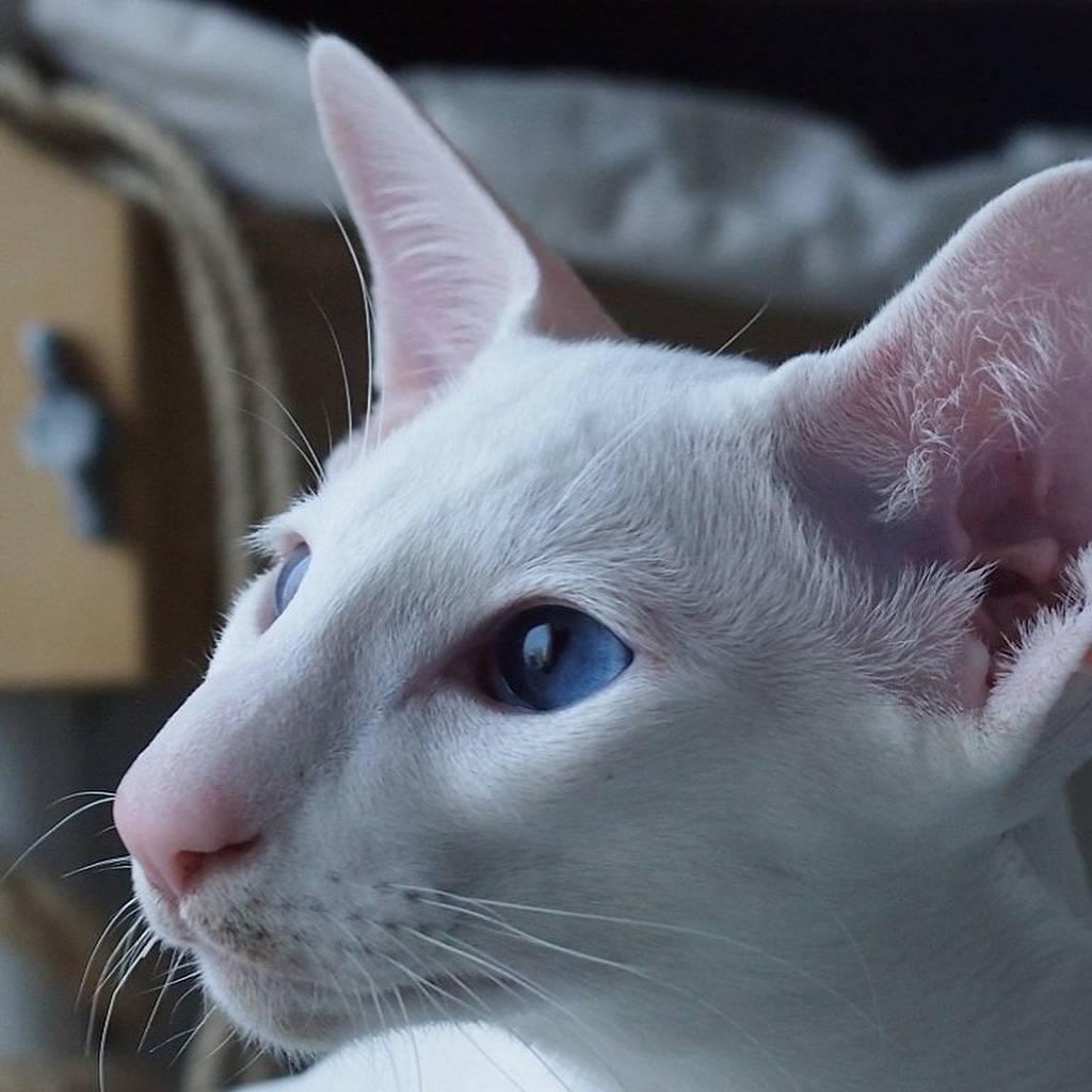 Форин вайт: фото кошки, описание породы, характеристика