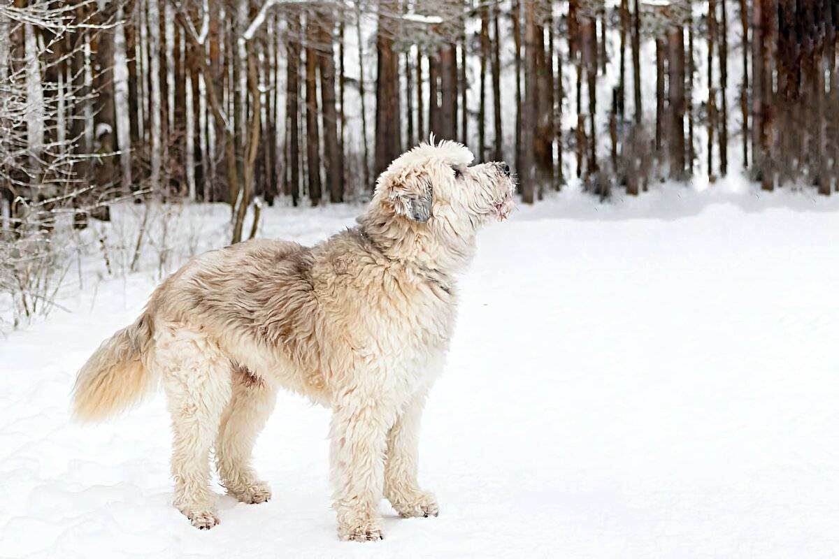 Ирландский волкодав: фото, характеристика породы, сколько живут, описание породы, внешний вид, окрас