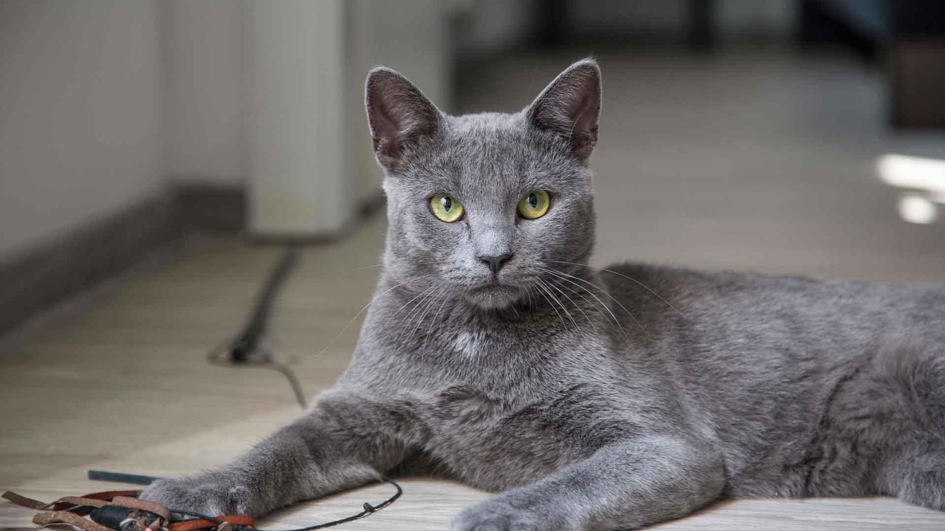Русские кошки (32 фото): российские породы котов, описание белых, серых и черных пород котят из россии
