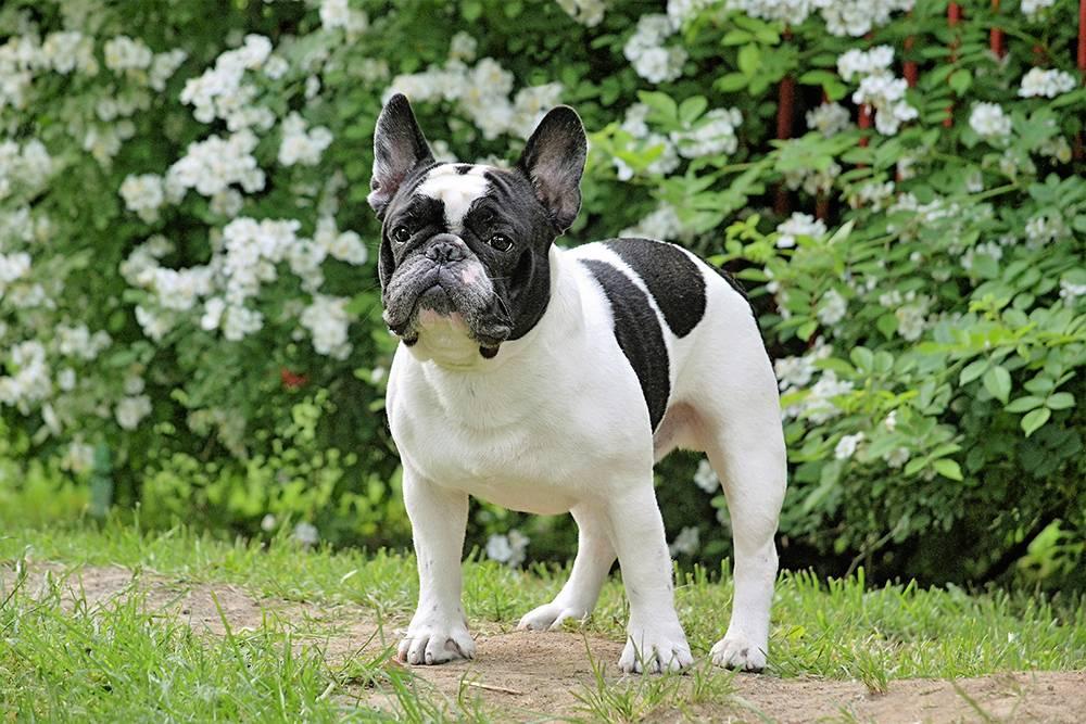 Мини шарпей: описание породы и как выглядит на фото маленький карликовый минипей, а также как правильно выбрать щенка