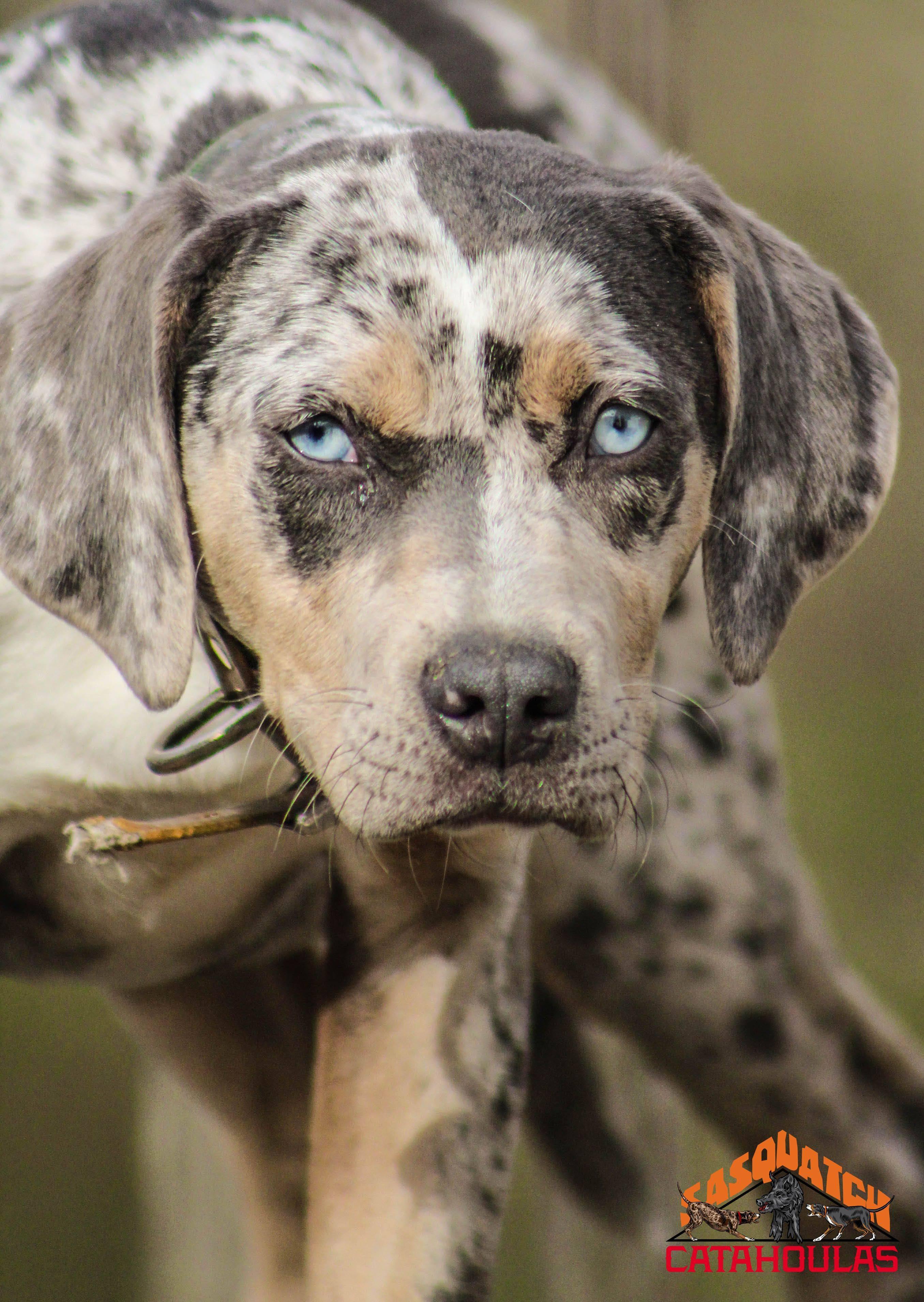 Леопардовая собака катахулы: уход за породой, цена щенков