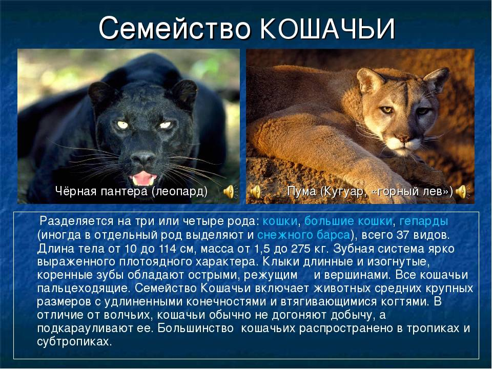 7 домашних кошек, похожих на рысей, леопардов и других своих диких собратьев